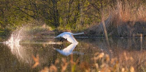 Oiseaux_sauvages_EnvoleCygneBlanc_BrunoGuisti_1.jpg