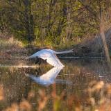 Oiseaux_sauvages_EnvoleCygneBlanc_BrunoGuisti_1